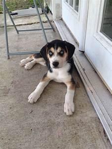 "beagle/husky mix!   ""Awe""nimals ;)   Pinterest"