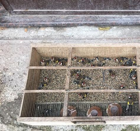 cardellini in gabbia sorpreso con fauna protetta in auto operazione dei