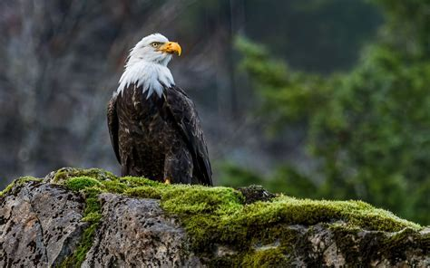 high resolution eagle pictures hd desktop wallpapers  hd