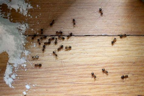 Flöhe In Der Wohnung Bekämpfen by Ameisen Bek 228 Mpfen Im Haus In Der Wohnung 22 Wirksame Mittel