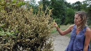 Pyrale Du Buis Traitement Bio : jardin traitements et lutte contre la pyrale du buis ~ Melissatoandfro.com Idées de Décoration