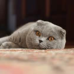 scottish fold cat five cat breeds for the yuppie associate attorney greedy