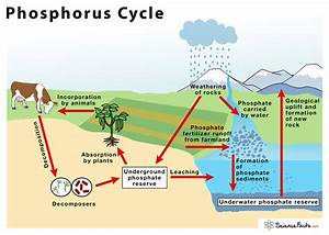 Phosphorus Cycle  U2013 Definition  Steps  Importance  With Diagram
