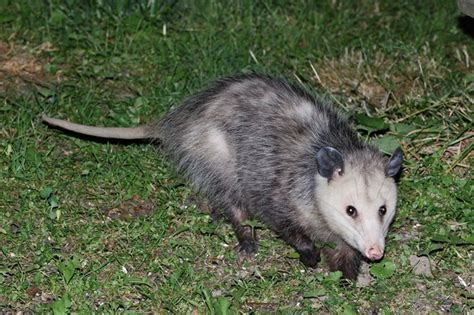 Possum Images 188 Best Images About We Possums On
