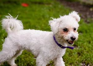 Small White Dog Breeds Fluffy Dog Breeds Puppies : Five ...