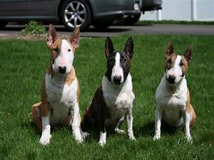Miniature Bull Terrier - This 15 Facts Will Make You Fall ...