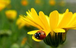 Nature, Animals, Insects, Ladybirds, Yellow, Flowers, 1920x1200, Wallpaper, High, Quality, Wallpapers, High