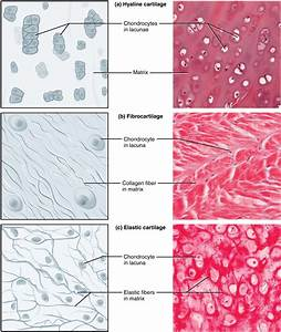 4 3 Connective Tissue Supports And Protects  U2013 Anatomy And