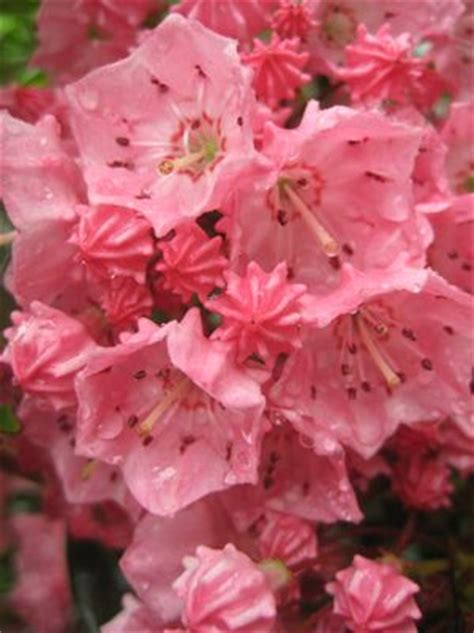 mountain laurel gammons garden center landscape nursery