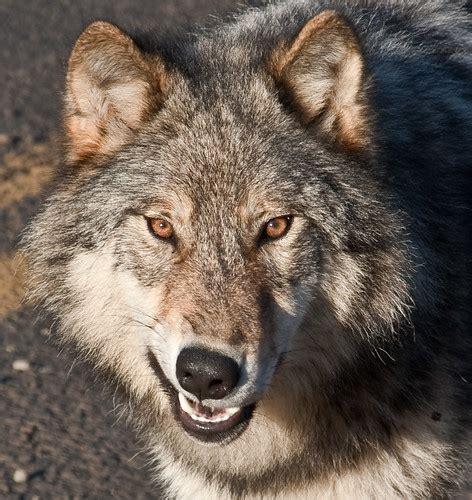 grey wolf snarl    grey wolf   nisgaa