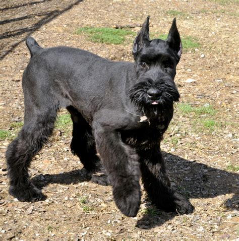 schnauzer giant breed guide learn   schnauzer