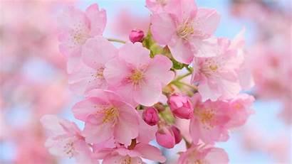 Blossom Cherry Pink Windows