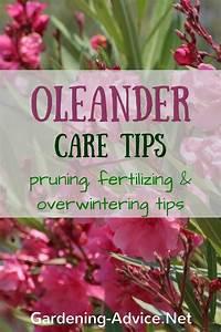 Oleander Plant Care Instructions