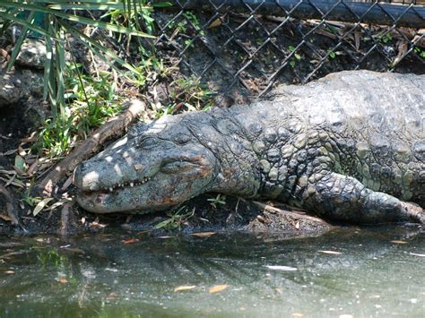 The Online Zoo - Broad-snouted Caiman