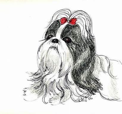 Shih Tzu Drawing Drawings Lhasa Apso Dog