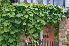 Rankpflanzen Winterhart Immergrün : spalierpflanzen welche sind wirklich geeignet garten ~ A.2002-acura-tl-radio.info Haus und Dekorationen
