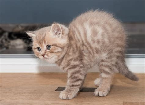 Spinal And Vertebral Birth Defects In Cats