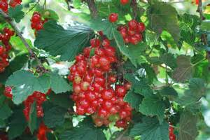 Red Currant Fruit