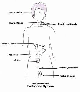 Draw Label The Endocrine Glands In Males And Females In