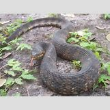 Juvenile Eastern Milk Snake | 1000 x 750 jpeg 349kB