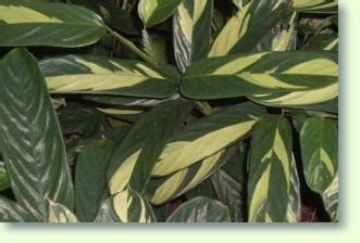 calathea pflege pflanzenfreunde