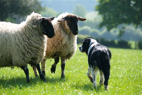 stop  dog worrying sheep essential advice