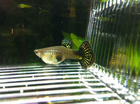 reproduction poisson en aquarium reproduction poisson en aquarium 28 images d 233 co aquarium poisson la reproduction des
