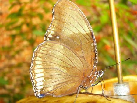 gold butterfly butterflies animals background