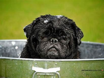 Pugs Pug Puppies Dog Wallpapers Background Puppy