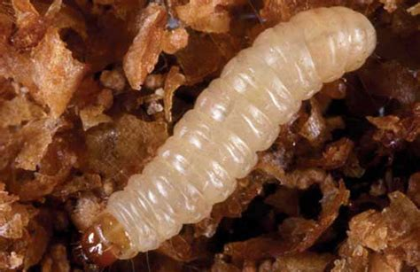 pantry moth larvae how to get rid of pantry moths and worms farmer s