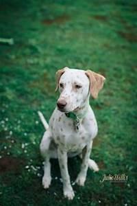 Light Sheltie 55 Best Lemon Dalmatian Page Images Dalmatian Dogs Puppies
