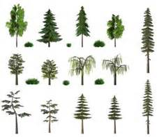 types of pine trees gardening central