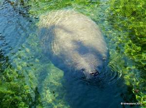 Kinexxions  The Manatees Of Blue Spring