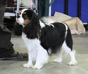 Tri-color cavalier king charles | Want | Pinterest
