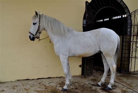 andalusian arabian horse cross breed horses hd