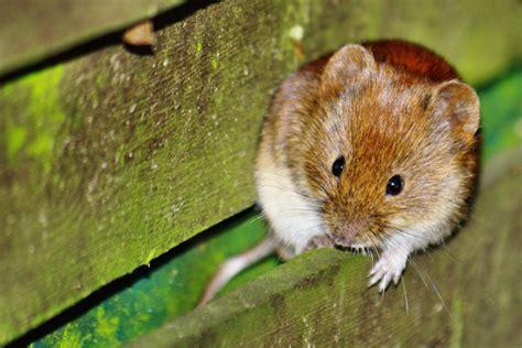 fressen marder ratten ungebetene tiere im dach befestigungsfuchs