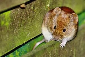 Was Fressen Ratten : ungebetene tiere im dach befestigungsfuchs blog ~ One.caynefoto.club Haus und Dekorationen