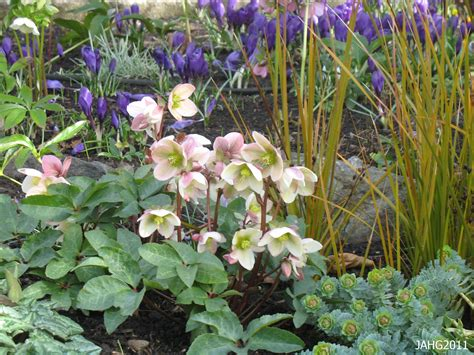 how to plant hellebores glendale gardens name that plant
