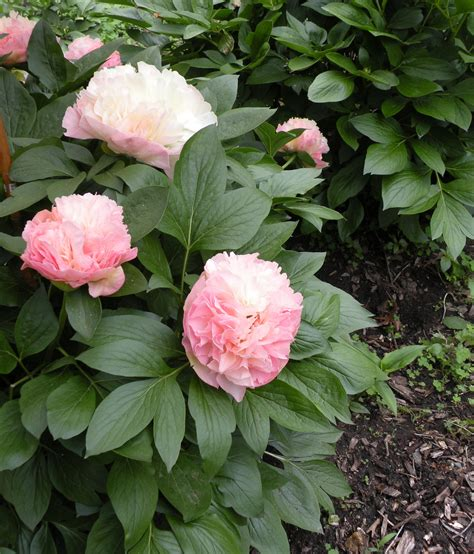 peony planting peony growth habits a peony for every place crickethillgarden