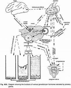 Endocrine Glands Of Vertebrates  With Diagram