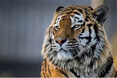 Tiger 4k Closeup Wallpapers Animals 1440p Resolution