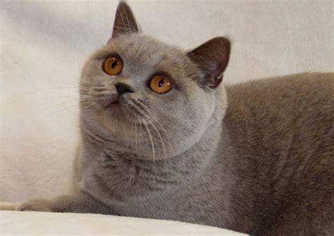 waschbär und katze bkh britisch kurzhaar britisch langhaar highlander lowlander rassekatzen katzen kitten