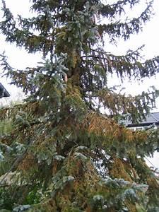 Thuja Düngen Bittersalz : koniferen d ngen koniferen pflanzen schneiden d ngen ~ Lizthompson.info Haus und Dekorationen