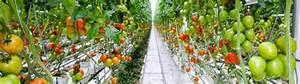 Tomato Crop Guide  U2013 Haifa Group