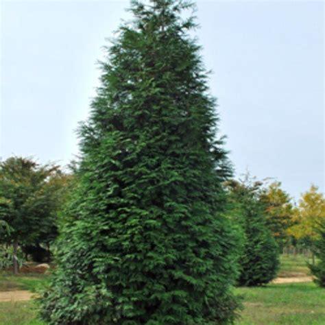 arborvitae trees onlineplantcenter 1 gal green giant arborvitae tree t131512 the home depot