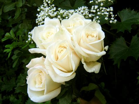 Life Is A Journey White Rosesa Pure Devotion