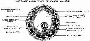Volume 5  Chapter 12  Follicle Growth And Development