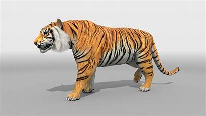 Tiger Animated Animation Check Intelligence Artificial Walking