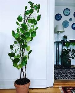 Pilea Pflanze Kaufen : die besten 25 winterpflanzen ideen auf pinterest beste ~ Michelbontemps.com Haus und Dekorationen
