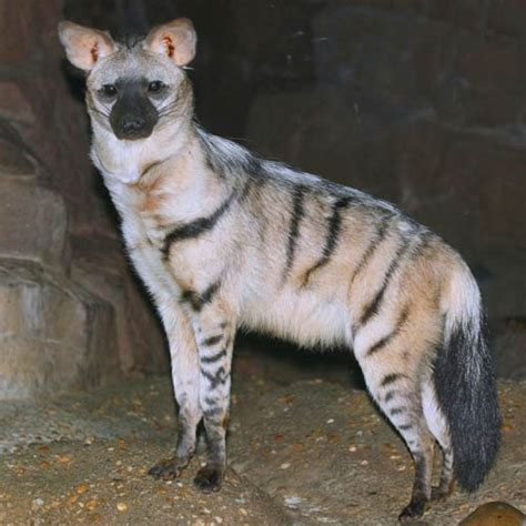 pics animals  level answer aardwolf